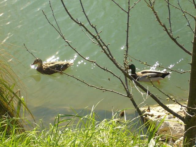 Deux canard en balade