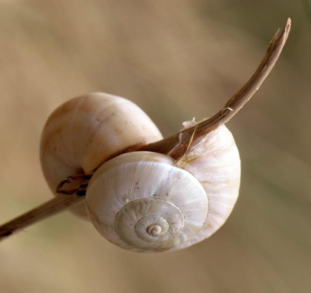 Deux escargots au repos