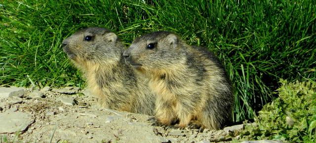 Deux marmottons