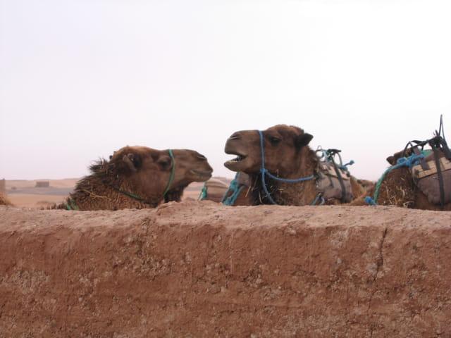 Dialogue de chameaux