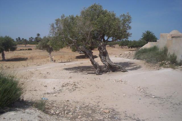 Djerba, les oliviers