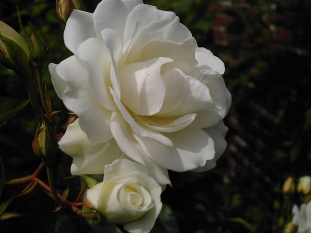 Douceur blanche