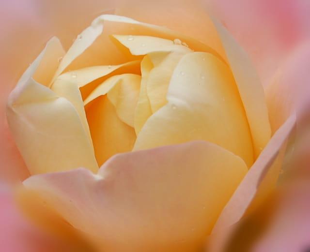 Douceur...D'une rose