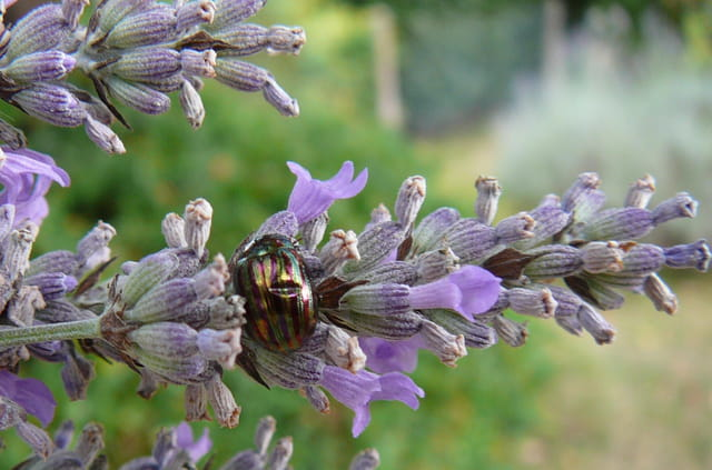 Drôle d'insecte sur la lavande de mon jardin