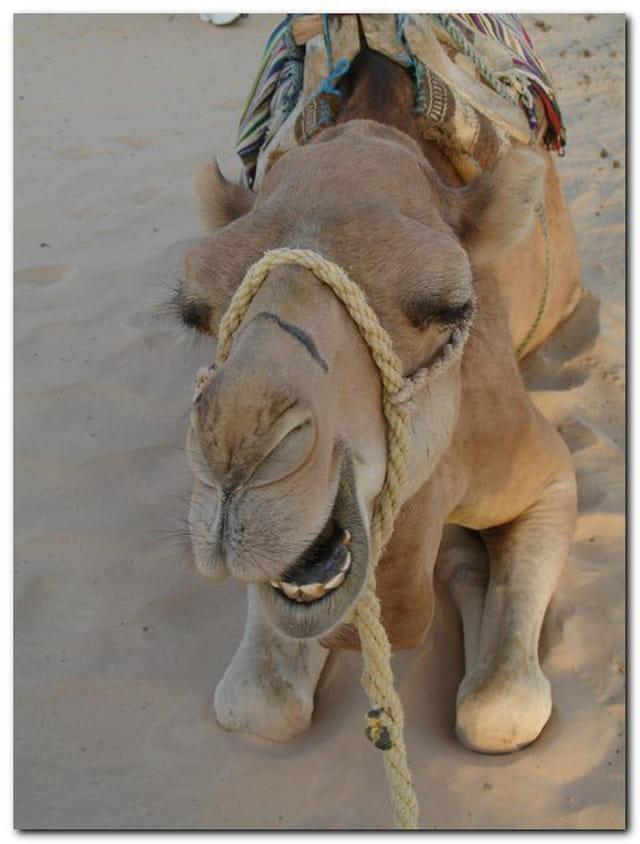 Dromadaire Tunisien