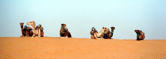 Dromadaires du désert
