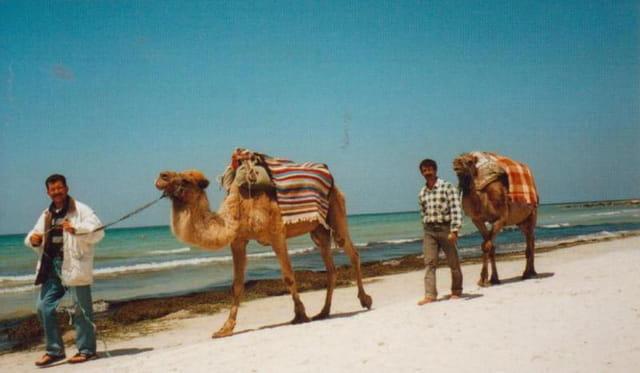 Dromadaires sur la plage