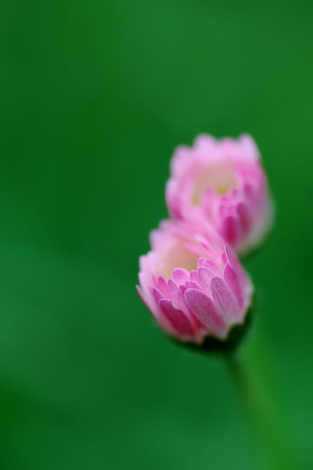 Duo en rose