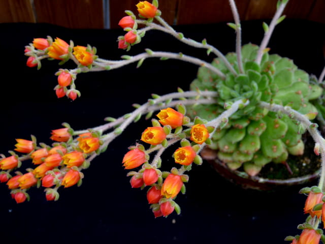 Echeveria en fleurs