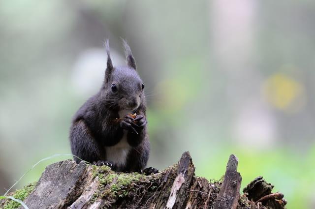 Ecureuil assis sur une souche de sapin