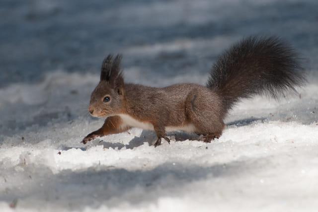 Ecureuil dans la neige
