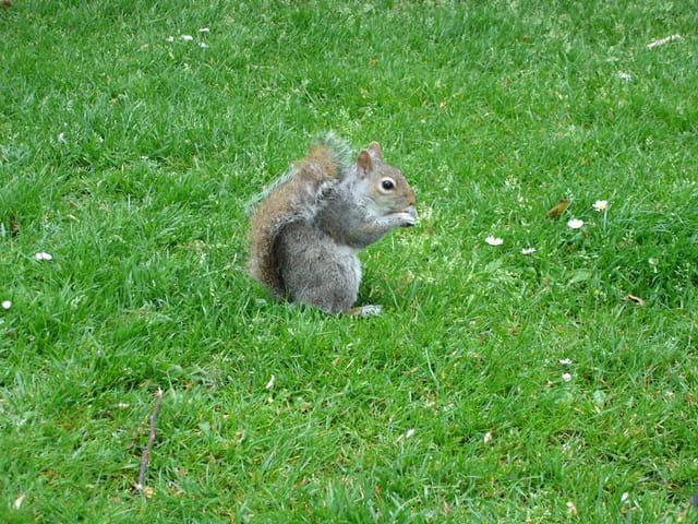 Ecureuil de st james's park