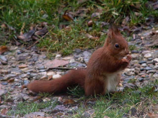 Ecureuil en decembre