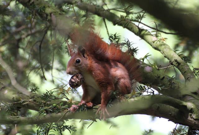 Ecureuil sur le qui-vive