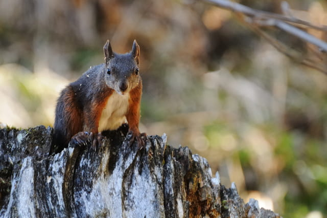 Ecureuil sur sa souche