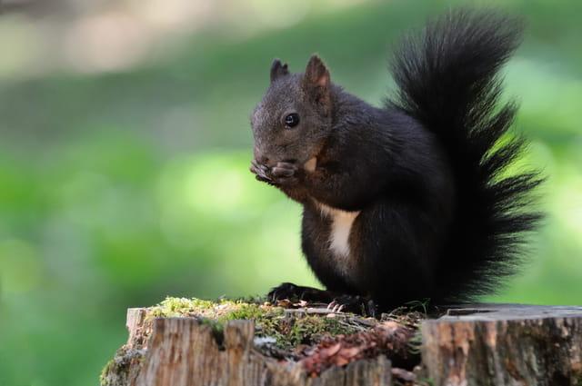 Ecureuil sur une souche