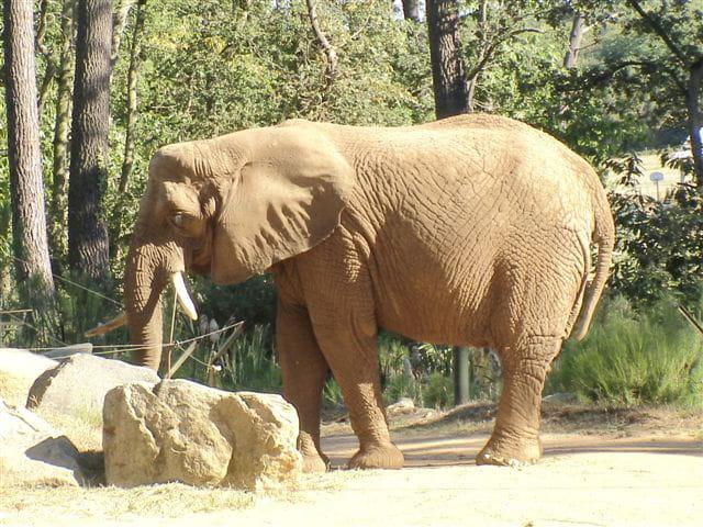 �léphant