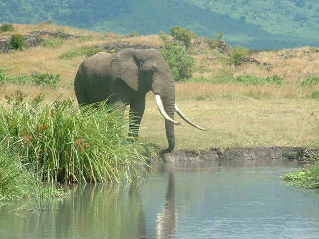 Elephant africain
