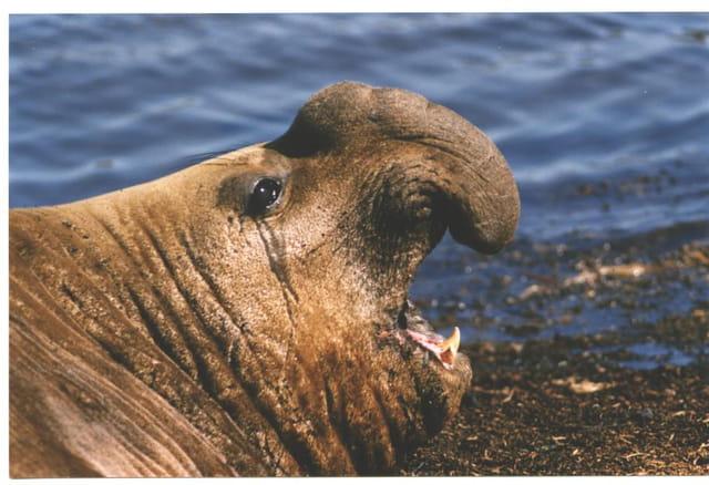 Eléphant de mer mâle