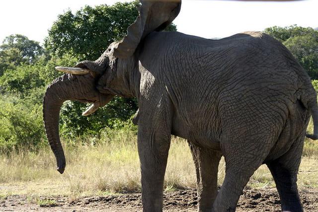 �léphant secoue la tête