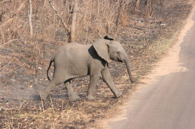 Eléphanteau qui traverse la route
