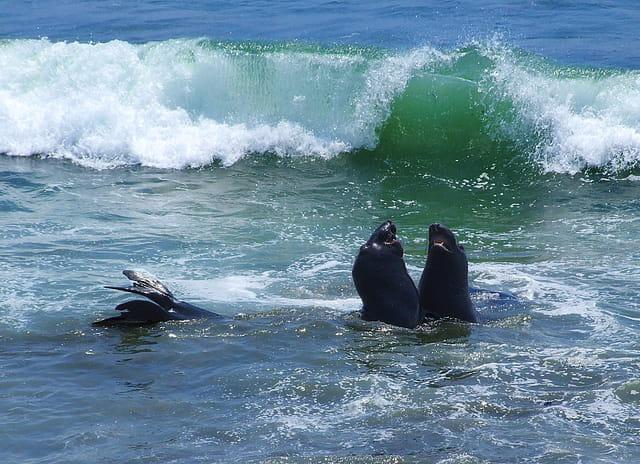 Eléphants de mer