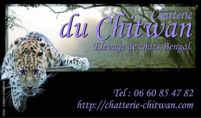 Elevage de chats Bengal
