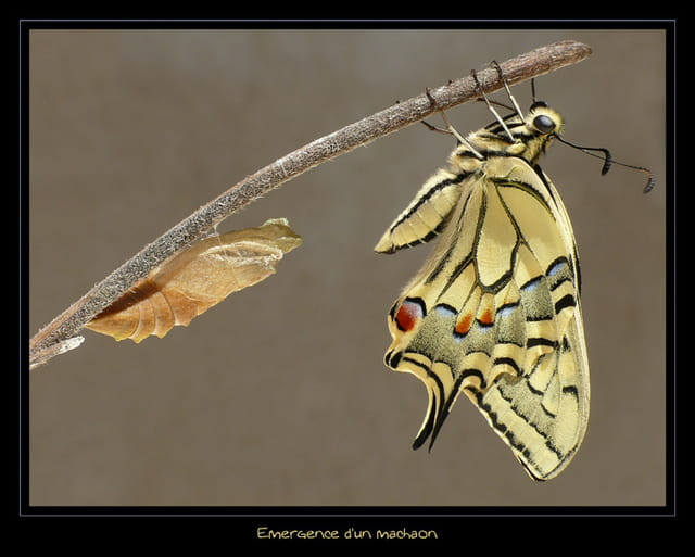 Emergence d un machaon