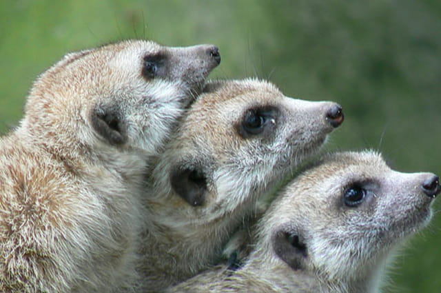Empilement de suricates