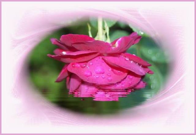 En rose rosé