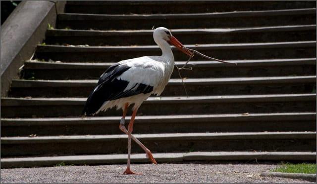 En ville, l'accès au nid se fait désormais par l'escalier...
