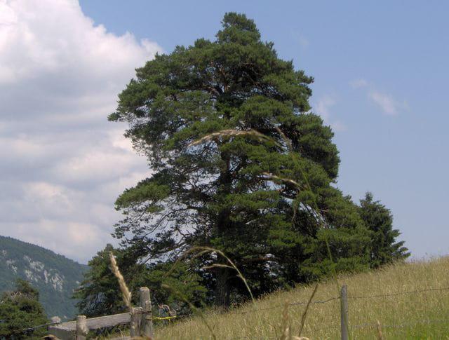 Les pins du Jorat