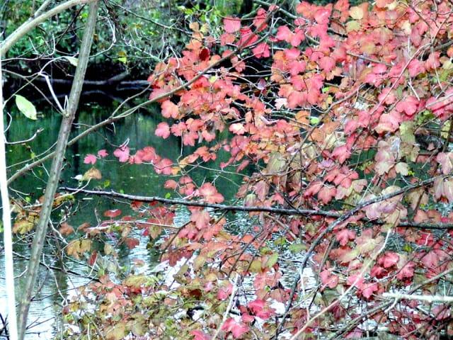 Entre les feuilles rouges