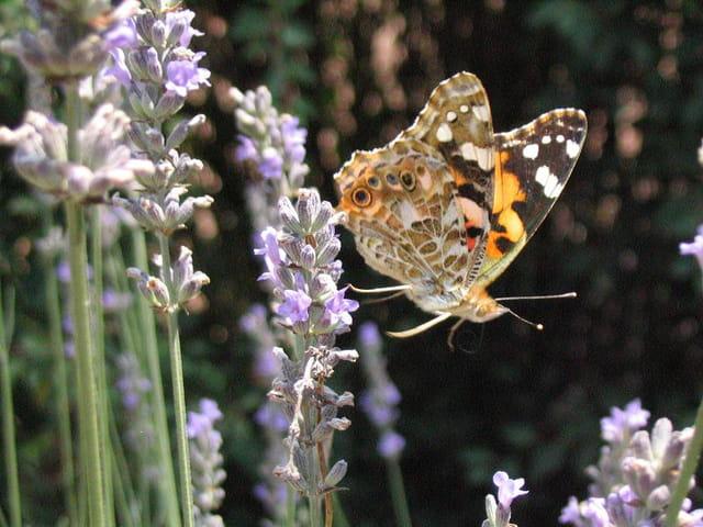 Envol d'un papillon