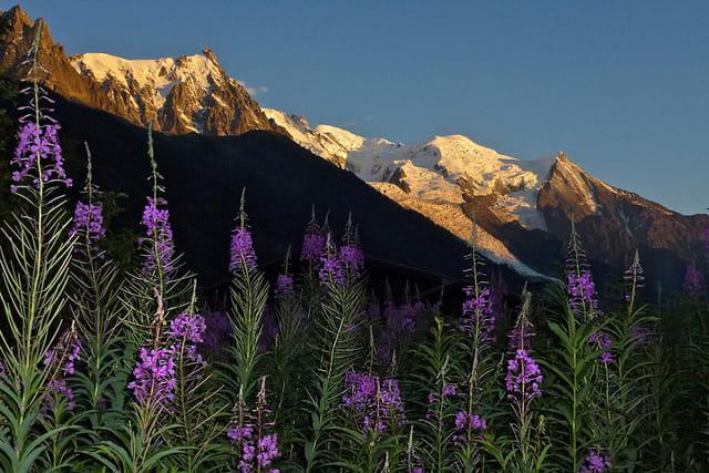 Epilobes et Mont Blanc