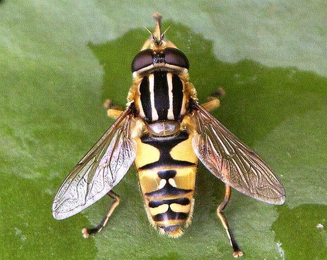 Episyrphus