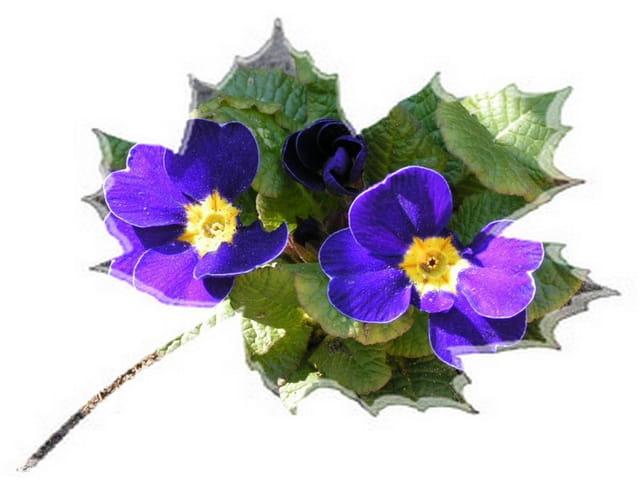 Erable à fleurs