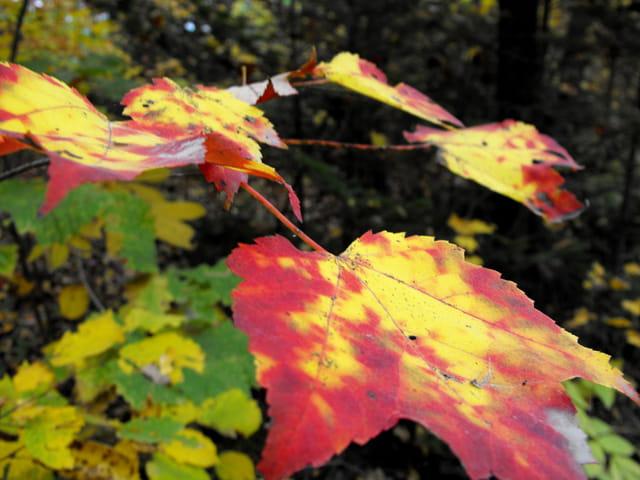 �rable d'automne