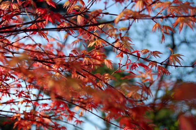 Erable rouge du canada