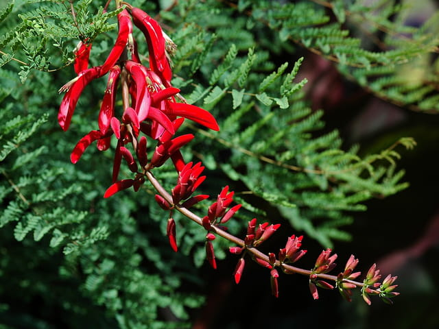 Erythrina (arbuste)