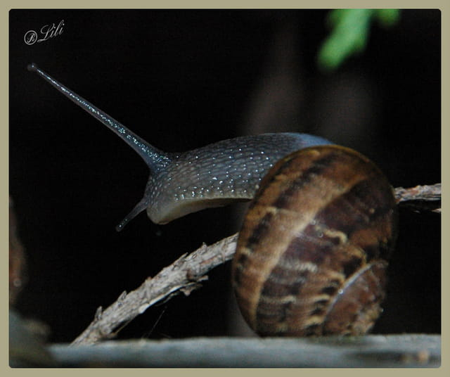 Escargot margot