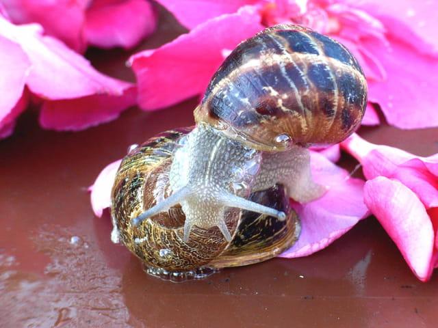 Escargots baveux
