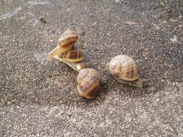 Escargots en promenade