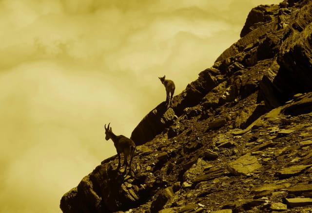 Etagne et cabri à 3400 mètres.