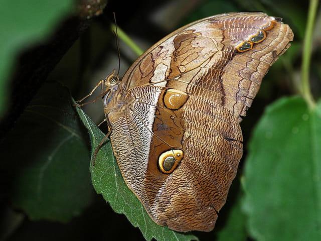 Papillon d'Amarante