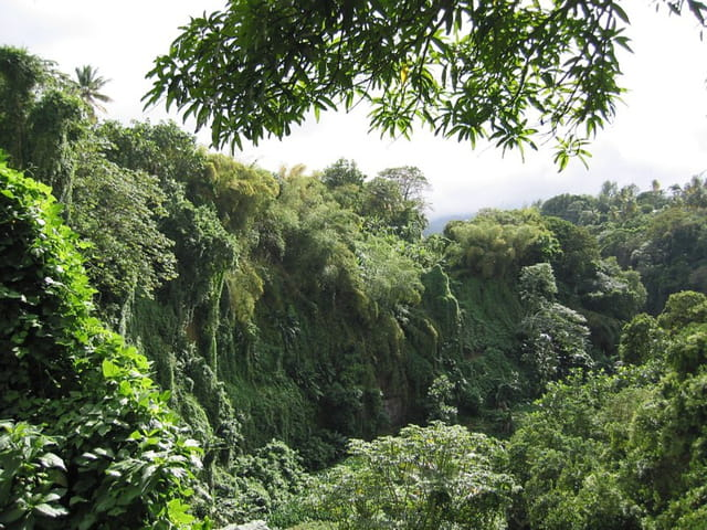 Falaises de bambous et fougères