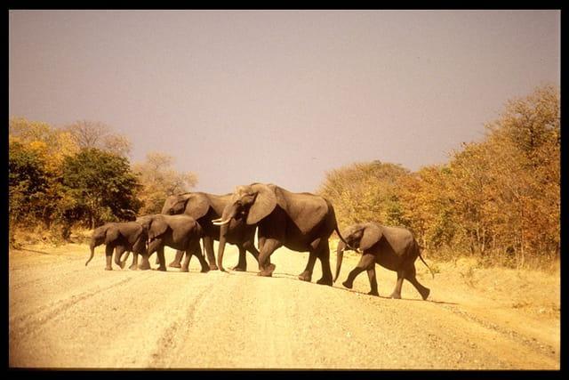 Famille d'éléphants en balade
