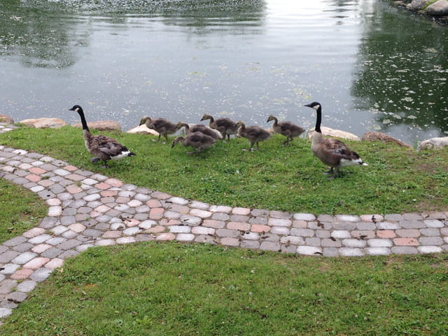 Famille d'outardes