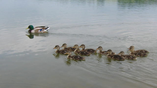 Famille de canards colverts