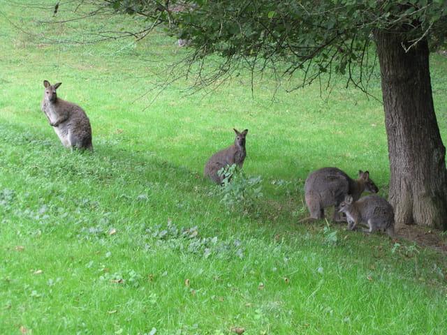 Famille de kangourous.